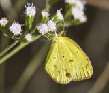 LITTLE YELLOW (Pyrisitia lisa)