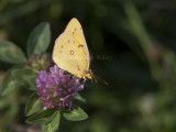 Orange Sulphur _11R2450.jpg