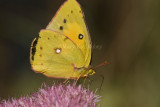 Orange Sulphur I9I2388.jpg