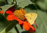 Orange Sulphur _MG_9875.jpg