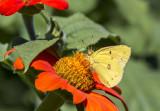 Orange Sulphur _MG_9878.jpg