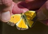 Orange Sulphur male upperside _MG_9158.jpg
