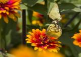 Orange female + Clouded male _MG_3874.jpg
