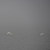Swans - through the fog.  See #2 Below.