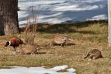 7692 Pheasants