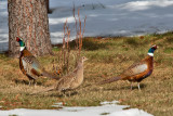 7688 Pheasants