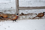 7767 Freddy pretending he's a pheasant...they're not buying it.