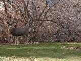0438 Deer