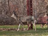 0439 Deer