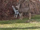 0441 Deer