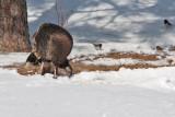 7943 Wild Turkey