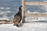 7945 Wild Turkey