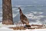 7947 Wild Turkey