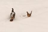 7971 Turkey and pheasant