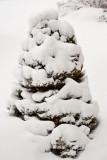 7980 Austrian pine