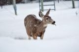 8000  Deer