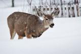 8002 Deer