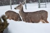 8003 Deer