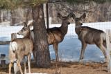 8035 deer