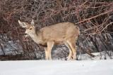 8036 deer