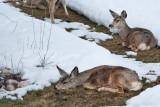 8062 Deer