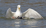 Herring Gull stealing Brown Trout from RB Merganser