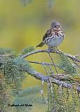 20121016 225 Fox Sparrow.jpg