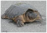 20121016 127 SERIES -  Snapping Turtle 1r1.jpg