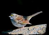 20121009 092 White-throated Sparrow 1r1.jpg