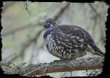20121023 - 1 068 Spruce Grouse 1r1.jpg