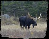 20121023 - 1 471 SERIES -  Moose2.jpg