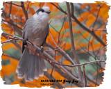 20121023 -2 294 Gray Jay2 1r1.jpg
