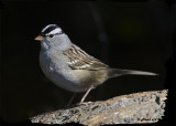20121009 111 White-crowned Sparrow 1r1b.jpg