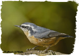 20121018 120 Red-breasted Nuthatch.jpg