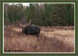 20121023 -2 780 Moose 1r3.jpg