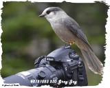 20121023 - 1 230 Gray Jay 1r1.jpg