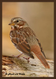 20121018 088 Fox Sparrow 1r1.jpg