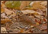 20121018 052 Fox Sparrow.jpg