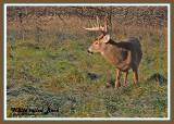 20121108 193 White-tailed Deer 1r1.jpg