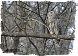 20121110 044 Barred Owl.jpg