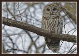 20121110 015 Barred Owls 1r1.jpg