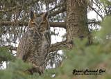 20121112 476 SERIES -  Great Horned Owl.jpg