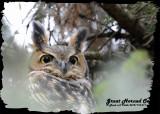 20121112 011 SERIES - Great Horned Owl 1r2.jpg