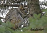 20121112 601 SERIES - Great Horned Owl.jpg