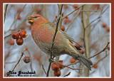 20121111 203 Pine Grosbeak.jpg