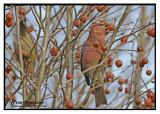 20121111 033 Pine Grosbeaks.jpg