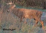 20121108 083 White-tailed Deer.jpg