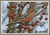 20121111 042 Pine Grosbeak 1r2.jpg