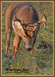 20121108 206 White-tailed Deer 1r1.jpg