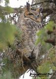 20121112 209 Great Horned Owl.jpg